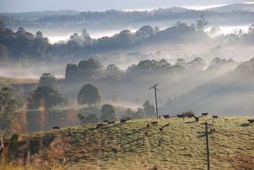 Cows at dawn in Austalia